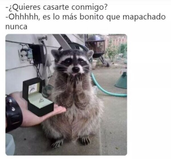 Boda Mapache
