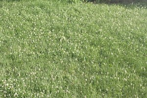 Photograph of a large area of dense clovers.