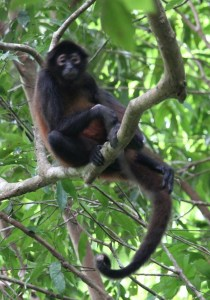 Photograph of a monkey up in a tree in Costa Rica.