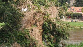Hochwasserspuren im August 2013: behangener Baum am Elbufer