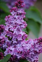 lilac plant,