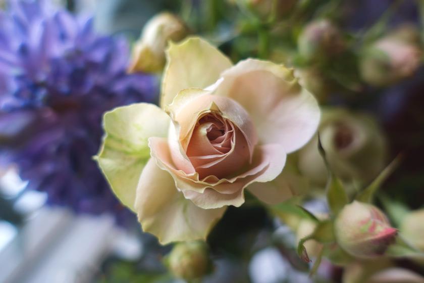 Pale pink rose petals