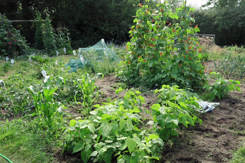 View of whole plot and beans