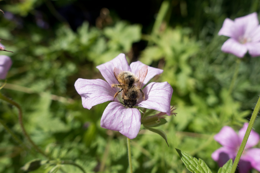 Bee on pink geranium