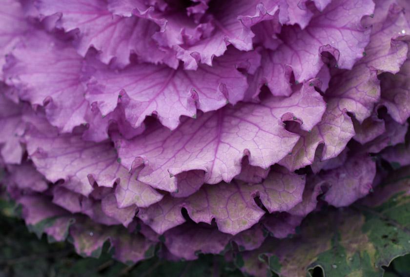 Purple cabbage leaves