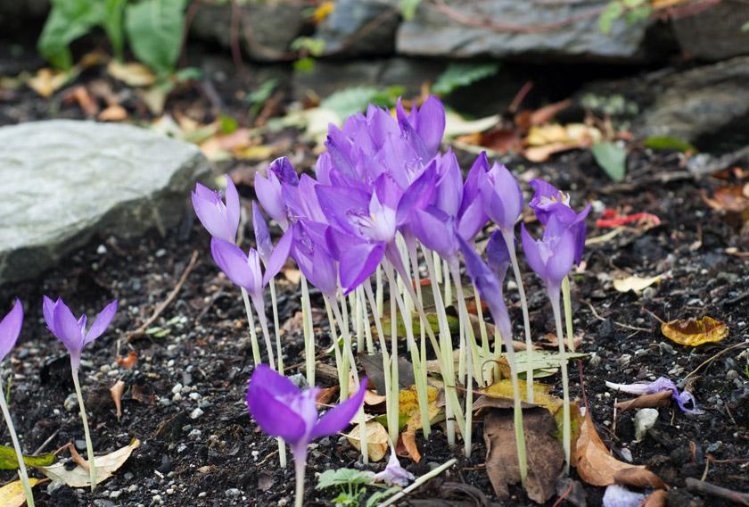 Cluster of purple crocus