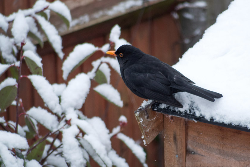 Blackbird on snowy shed roof