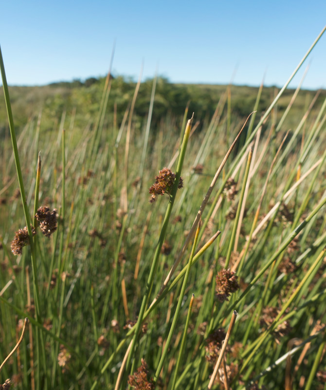 Thick rushes on moor