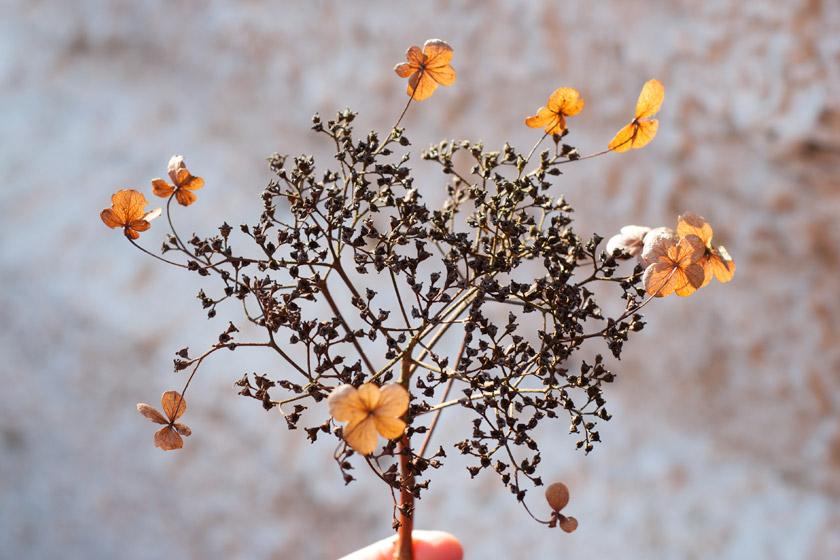 Dried hydrangea flowers in the sun