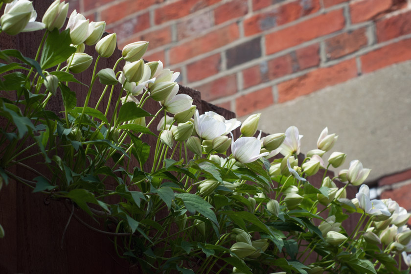 White flowers creeping along fence