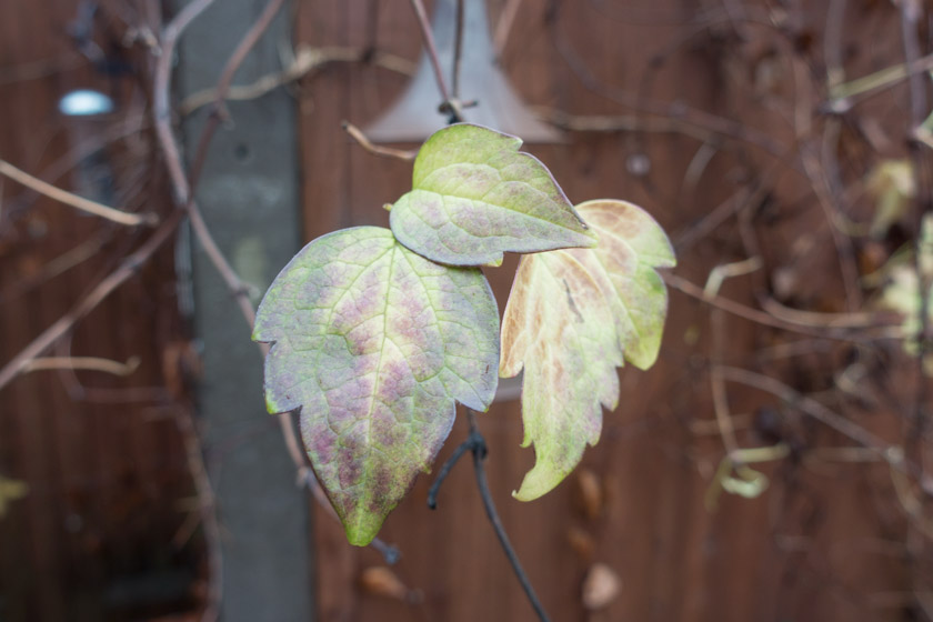 Fading clematis leaves