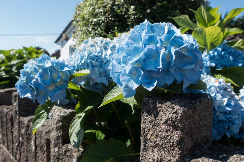Blue hydrangeas on wall