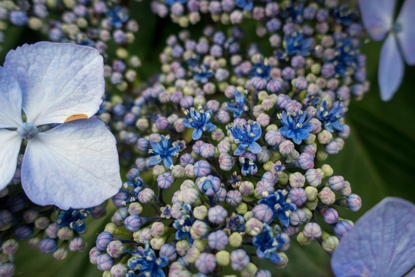 Hydrangea flower centres