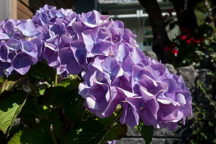 Purple hydrangea heads