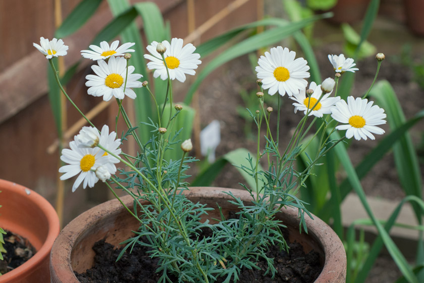 Pot of large daisies