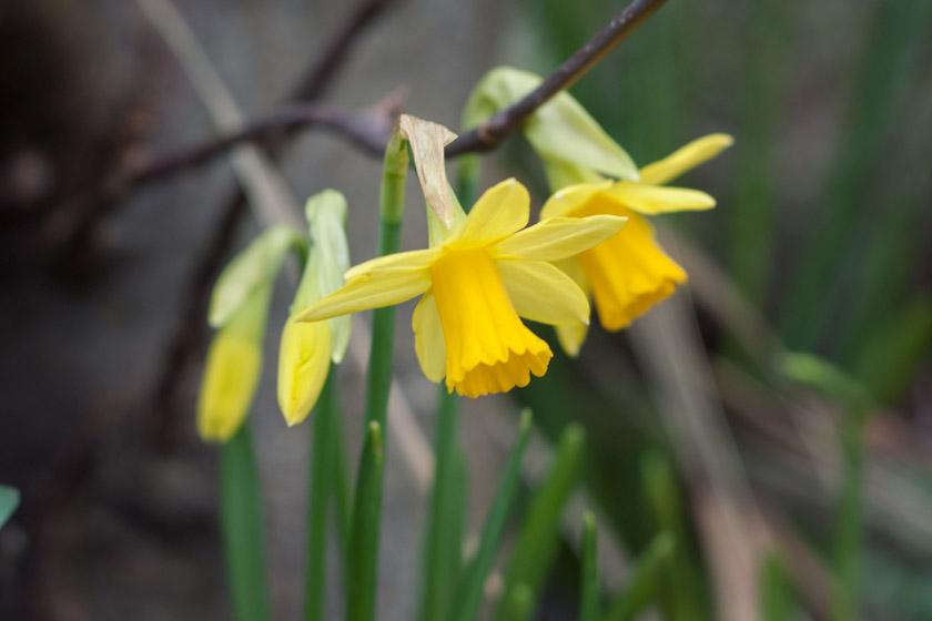 Daffodil heads