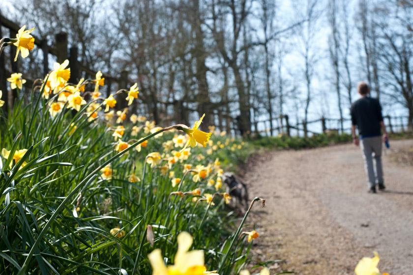Daffodils along path