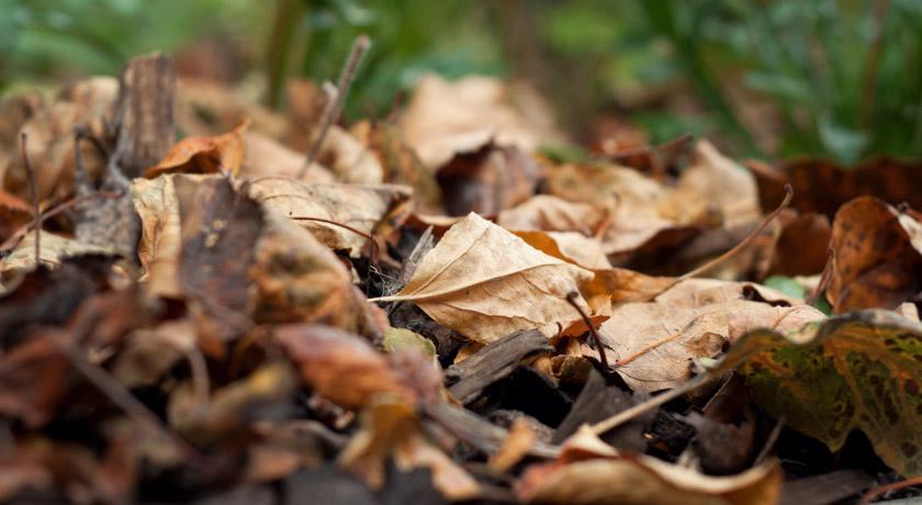 Fallen brown leaves