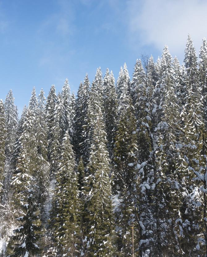 Spruce against sky