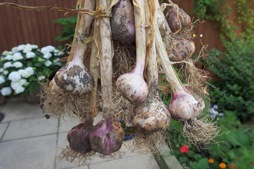 Handful of garlic plants