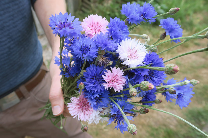 Bunch of blue and pink cornflowers