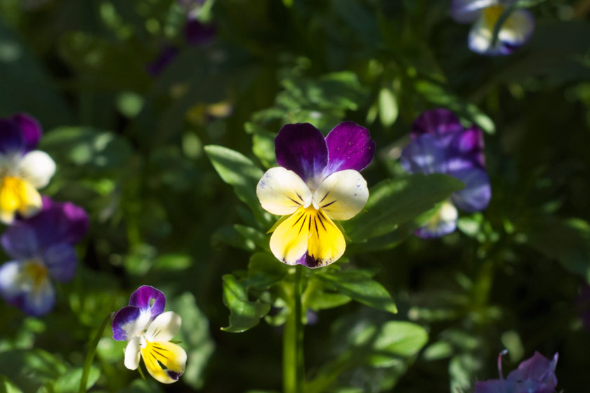 Purple and yellow heartsease