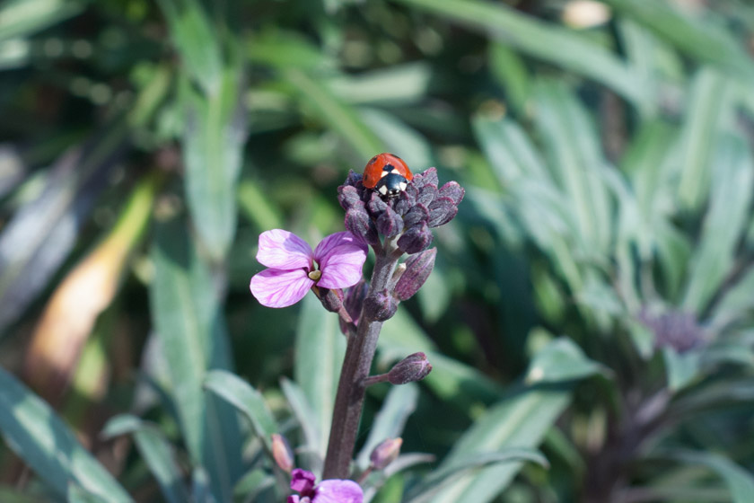Ladybird on flower buds