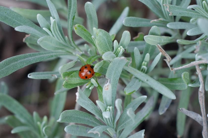 Ladybird in lavender