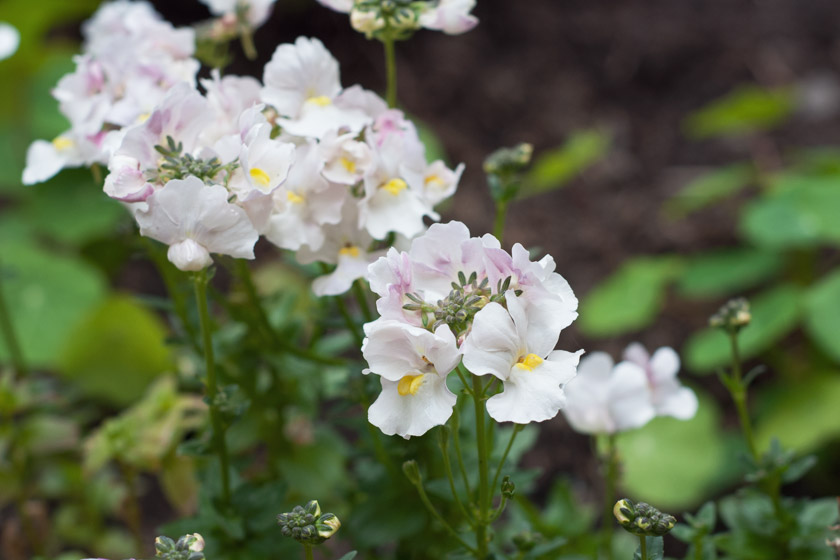 White nemesia flowers