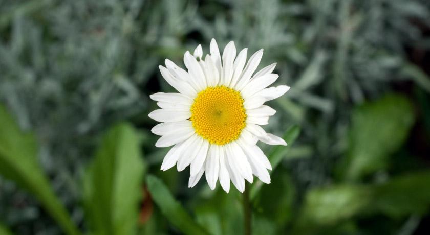Big white daisy