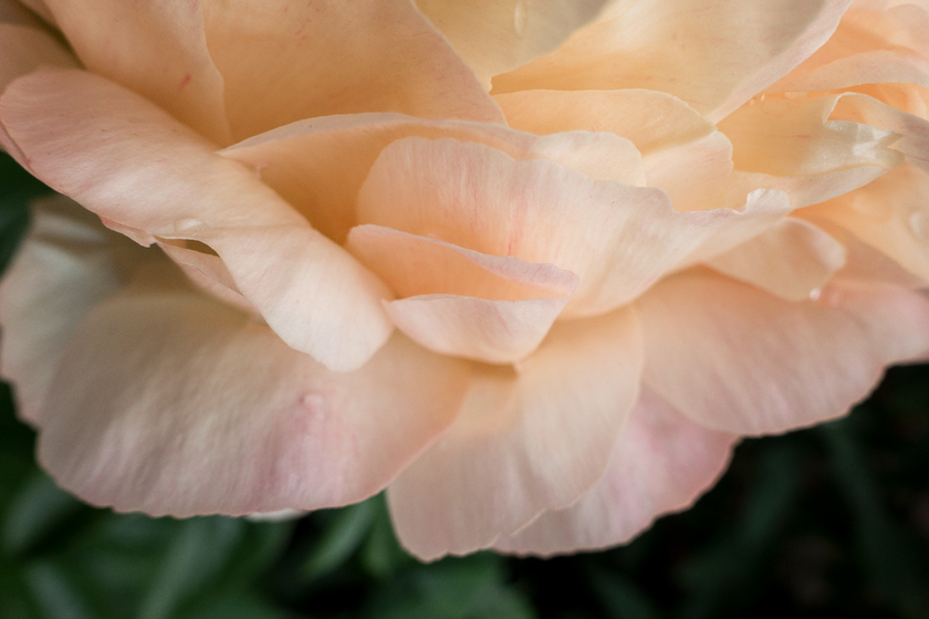 Peony petals from above