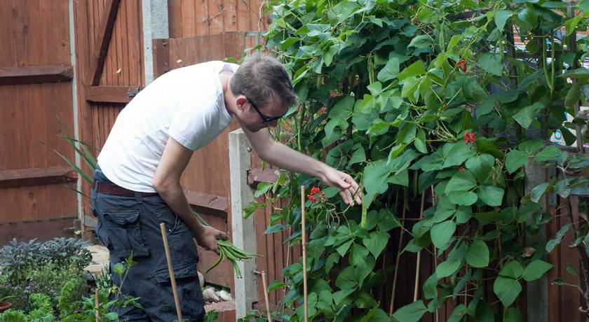Picking runner beans