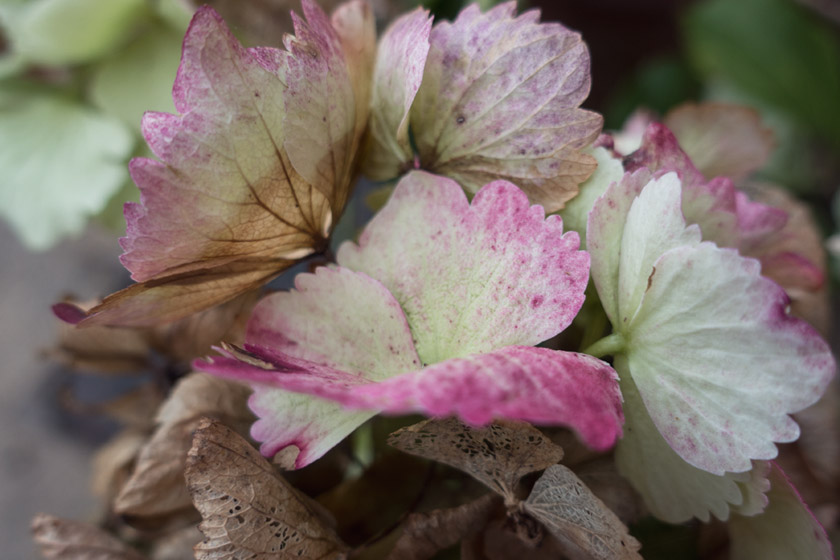 Green and pink hydrangea petals