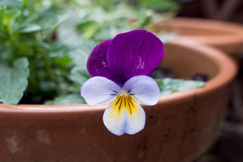 Purple heartsease flower