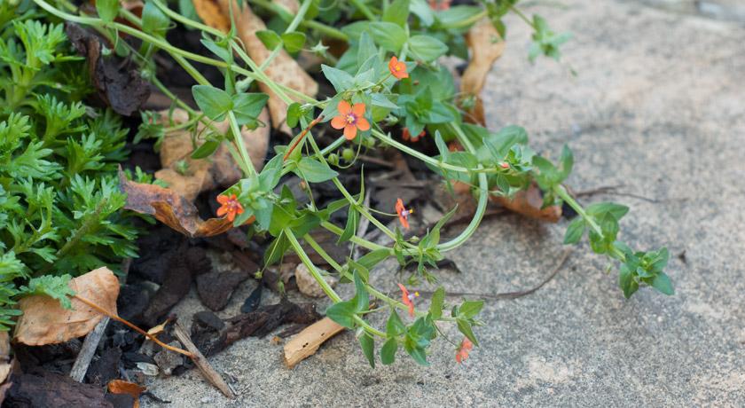 Small orange flowers growing onto path
