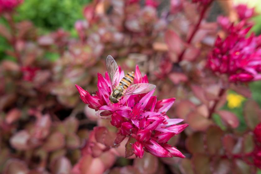 Hoverfly on sedum flowers