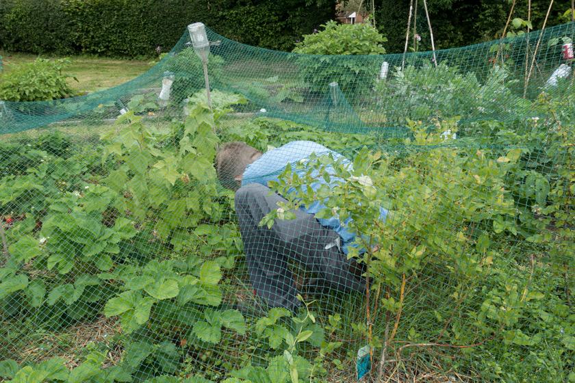 Picking inside fruit net