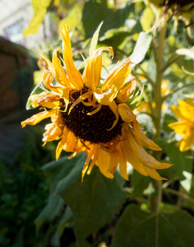 Limp sunflower head