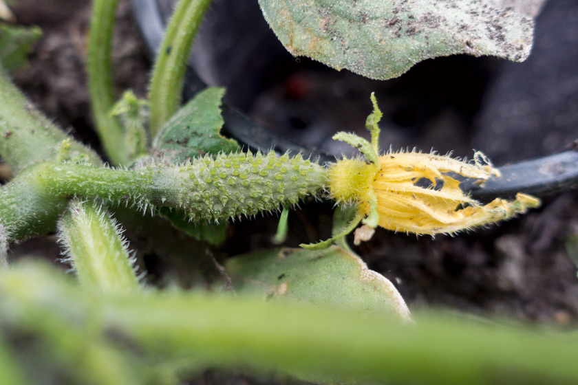 Tiny cucumber with flower
