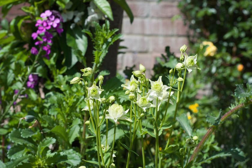 White aquilegia flowers