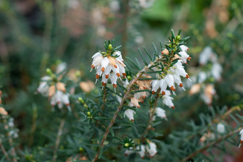White heather flowers
