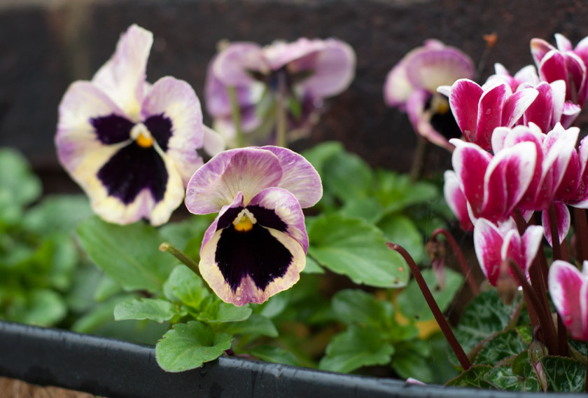 Pink and yellow pansies