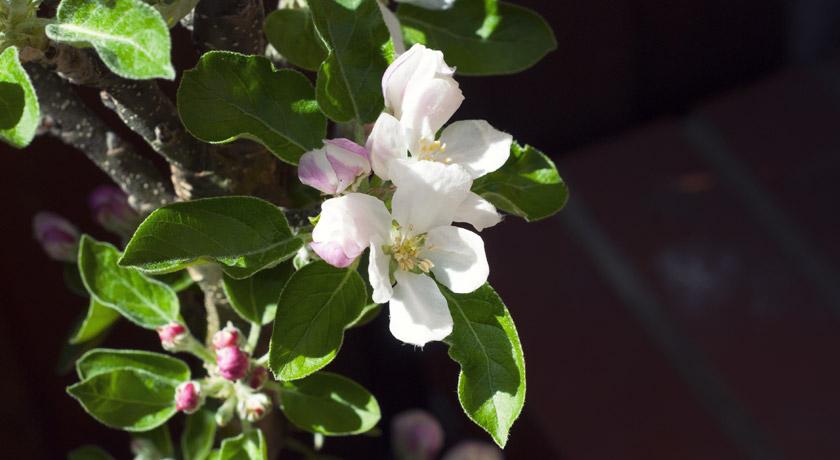 White apple blossom flowers