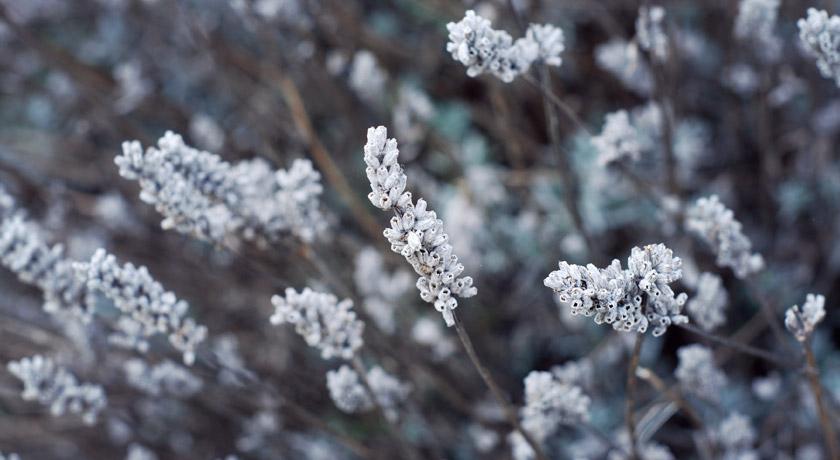 Lavender setting seed
