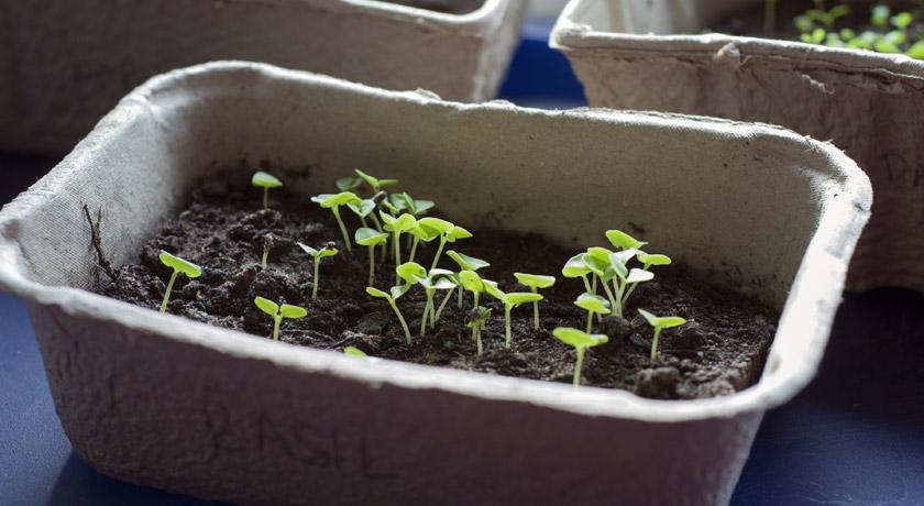 Tiny basil seedlings