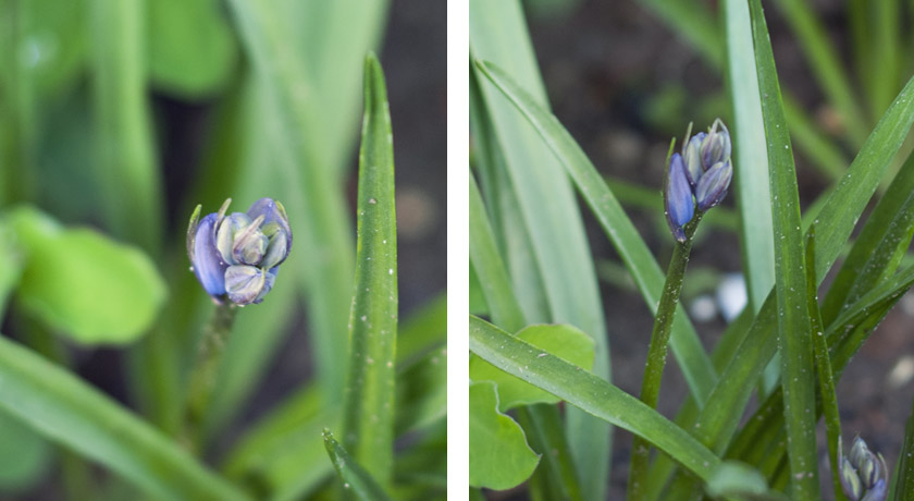 Closed Bluebell buds
