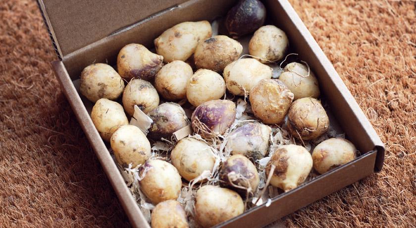 Box of bluebell bulbs