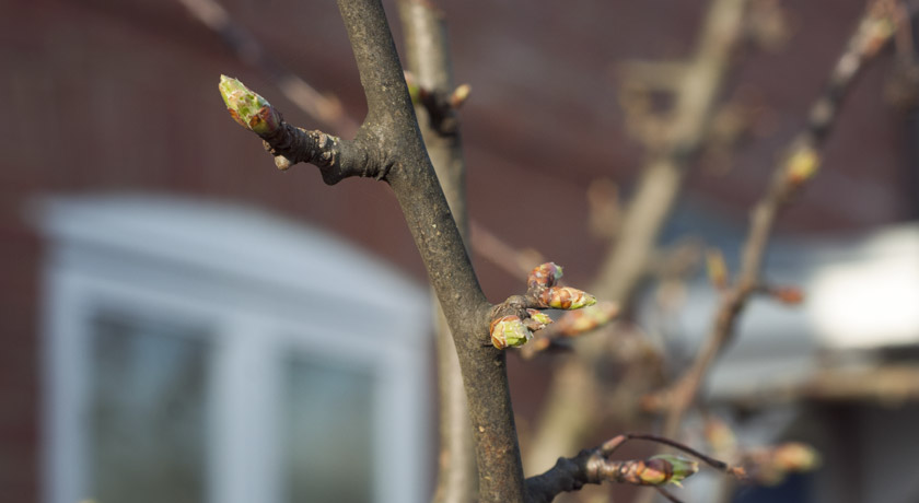 Spring shoots on a crabapple tree