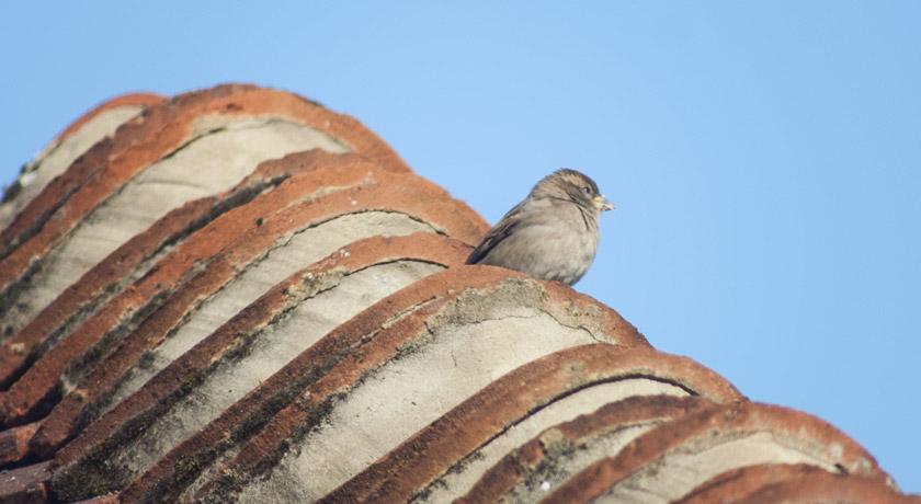 Female house sparrow on roof