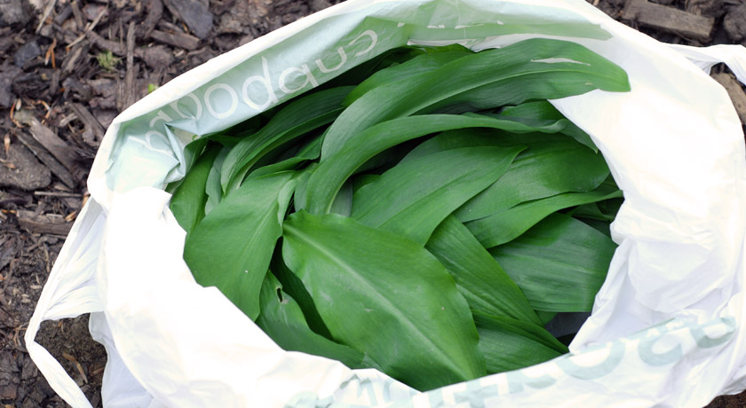 Carrier bag of wild garlic leaves